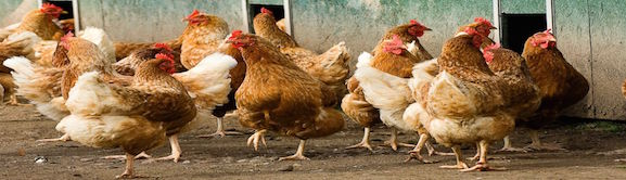 The History of chickens